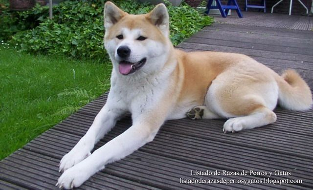 Listado de Razas de Perros y Gatos. Todos los tipos...: Raza de Perro Akita Inu, Akita o Akita Japones (Ak...
