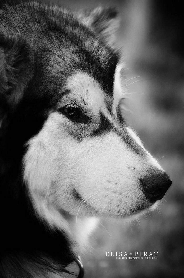 Dog - Alaskan Malamute - H'yepa on www.yummypets.com