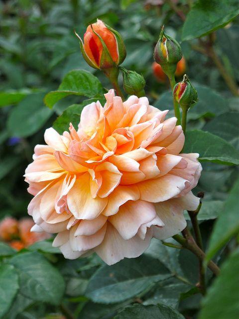 'Port Sunlight' rose & buds