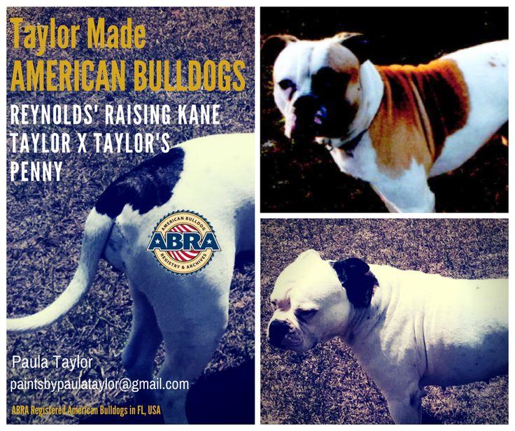 ABRA Registered American Bulldog Puppies in Florida, USA