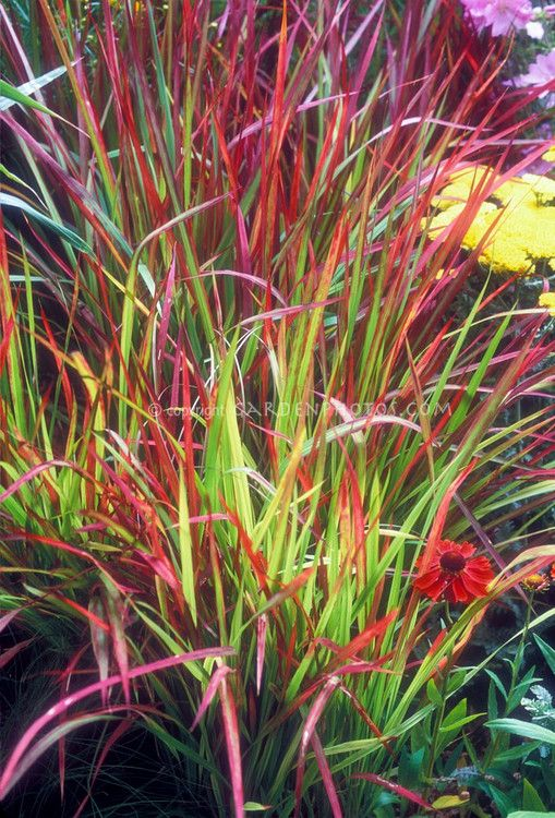17 best images about ornamental grass on pinterest for Red perennial grass