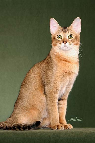 Chausie - The Chausie combines the genial nature of a domestic cat with the beauty and elegance of a jungle cat. This big, muscular breed has large, mobile, tufted ears, long legs and a naturally short tail reaching to the hock.
