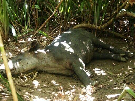 Sleeping #Tapir at Nationalpark #Corcovado