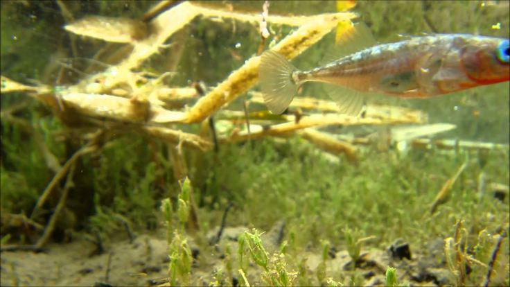 Week 9----------Some sticklebacks filmed by placing a Pentax WG-2 in the pond with them