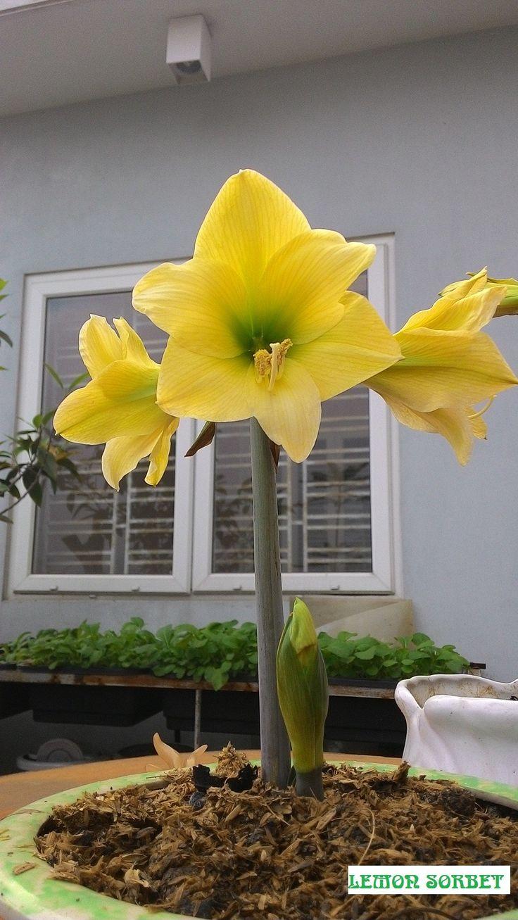 9 best amaryllis gift kits images on pinterest bulbs for Amaryllis planter bulbe