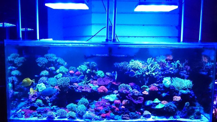 Beautiful 200 gallon using Atlantik Compacts. Buyung is the owner of a reef store in Indonesia and is an authorized  Orphek dealer.  Buyung recently shared a few photos with us of his beautiful 200 gallon reef tank display.  The tank dimensions are 62 x 31 x 24 inchs (160 x 80 x 60cm) and is …