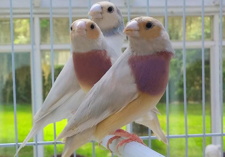 GOULDIAN FINCHES – Fly Babies Aviary