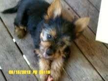 Australian Silky Terrier pups - http://www.pups4sale.com.au/dog-breed/391/Australian-Silky-Terrier.html