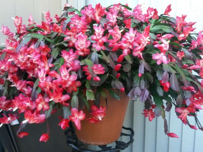 Christmas Cactus Confusion