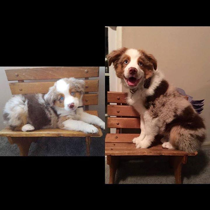 Maverick at 7 weeks and now at 13 weeks (tomorrow) #grow #fast #hohss2016 #happy #love #puppy #kpsmodelcontest #wcpringrep #talesofanaussie #australianshepherds #dogsofinstagram #aussiesofinstagram #instapuppy #cutedogs #dog_features #dailydogfeatures #picoftheday #dogfeatures#dogsofinstaworld #topdogphoto #excellent_dogs #australianshepherdpuppies #puppyaday #puppystagrams #aussie #ilovemydog #puppyiesofinstagram Check out my adorable pawtners! @miloaustralianshepherdboy Chaya B ( ´ ▽...