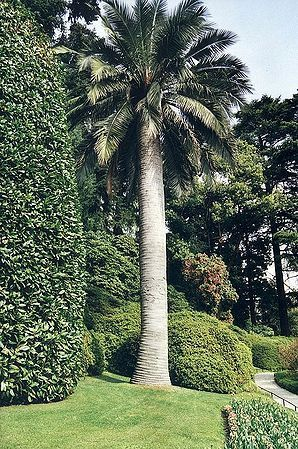 Jubaea chilensis - Palmpedia - Palm Grower's Guide