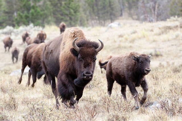 Бегущие бизоны картинки