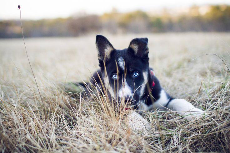 Meet Luna (husky / border collie mix) http://ift.tt/2qWB6H8