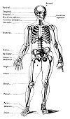 Esqueleto Humano com batata etiquetas
