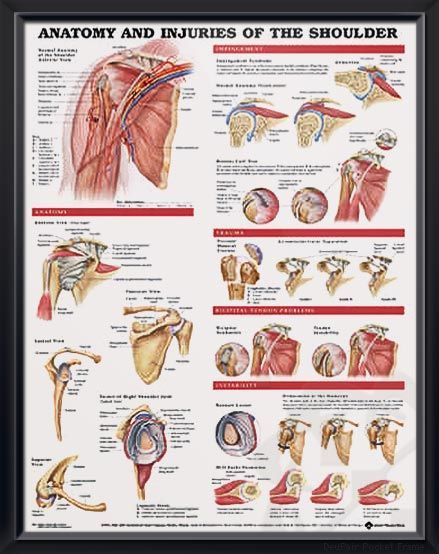 Anatomy and Injuries of the Shoulder anatomy poster shows views of the shoulder anatomy, impingement, rotator cuff tear, trauma and bicipital tendon. Muscles for doctors and nurses.