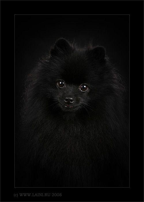 Pomeranian from Black on Black by © LAINI & SAMIN, via www.laini.ru