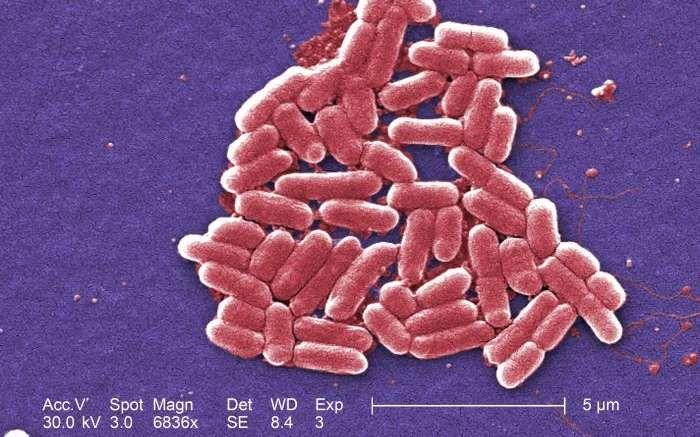 Les bactéries intestinales régulent les taux de l'hormone de l'humeur