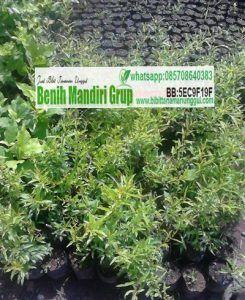 jual bibit tanaman buah delima, bibit buah delima, bibit pohon delima kualitas terbaik. bisa tanam dalam pot atau di tanah depan rumah.
