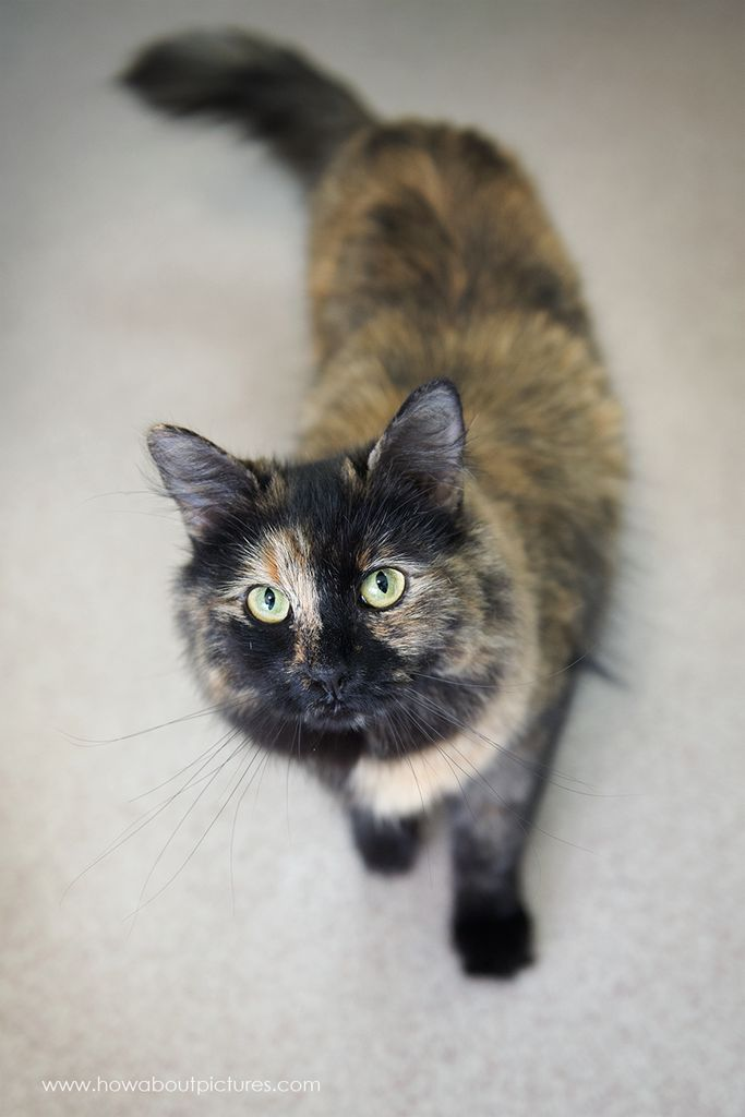Muffin has been adopted!!! Muffin has striking markings and a typical sassy torti personality. She's still a bit skittish around people, but loves to play and goes crazy over treats. She will need time to adjust to new situations. She loves feather toys, the dragonfly toy, and any other toy she can chase and catch. She loves other cats and would do fine in a household with another playful kitty companion.