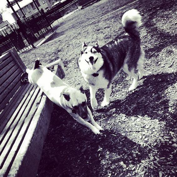 Playtime at Manayunk Dog Park at Pretzel Park - Philadelphia, PA - Angus Off-Leash #dogs #puppies #cutedogs #dogparks #philadelphia #pennsylvania #angusoffleash