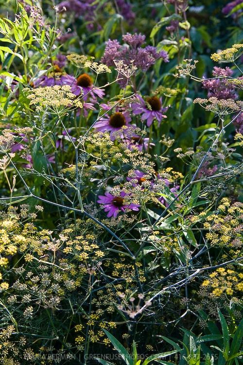 DESCRIPTION:Bronze fennel (Foeniculum vulgare) and purple cone flower (echinacea purpurea)