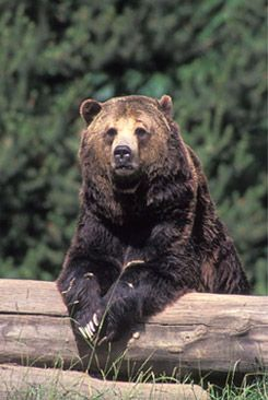 Google Image Result for http://www.nwzaa.org/images/grizzly-bear.jpg