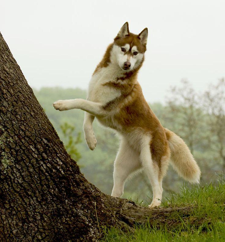 Husky Sibérien. He is beautiful.