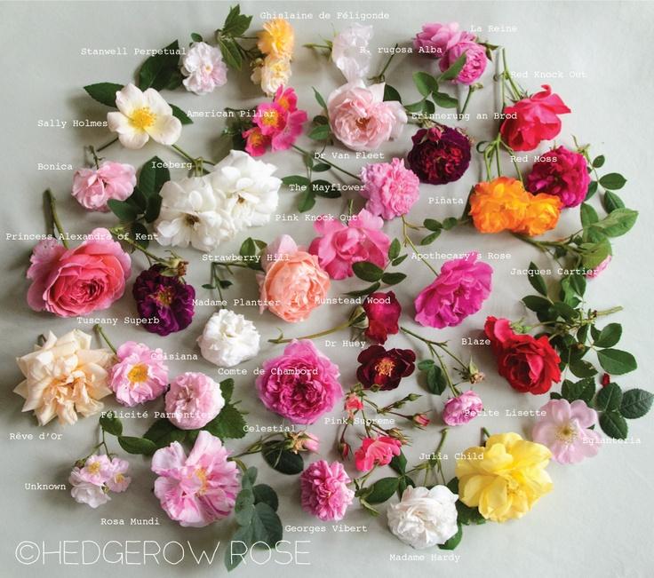 A sampling of roses blooming in our garden hedgerow rose favorite roses pinterest best - Rose cultivars garden ...