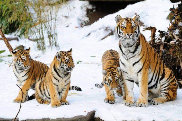Sibirischer Tiger (Panthera tigris altaica) mit Jungen im Schnee sitzend, Bayern, Deutschland - jetzt bestellen auf kunst-fuer-alle.de