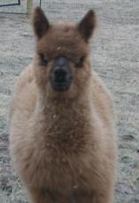 Our Alpaca Jones