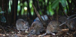 """""""O Grito do Bicho"""": Ratos correm à solta em Paris na pior crise em déc..."""