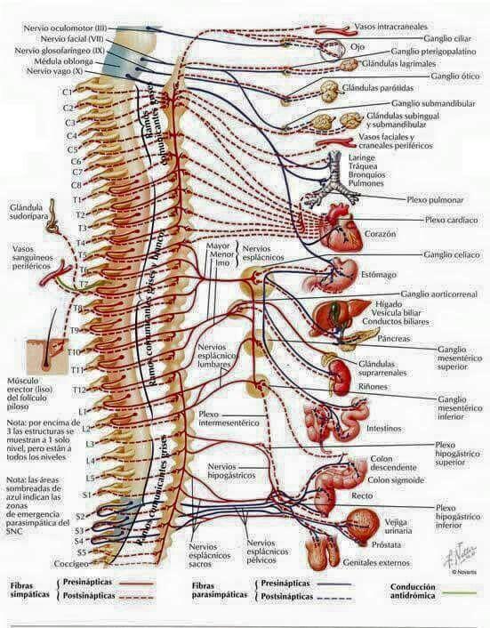 Columna vertebral y organos relacionados