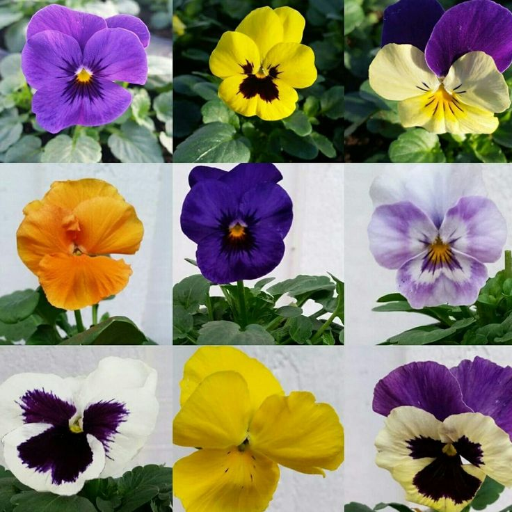 Du vet väl om att vi odlar alla våra penséer själva? Det gör att du får vackra, hållbara blommor som alla är gjorda med kärlek! <3