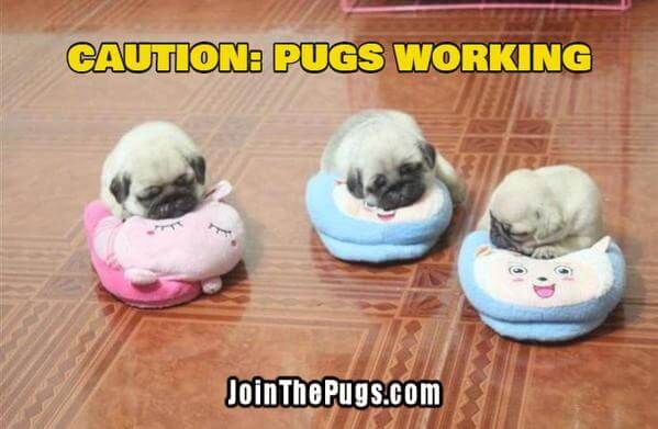 Another baby Pug alert!  www.jointhepugs.com