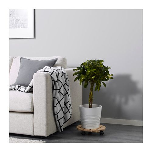 FICUS MICROCARPA MOCLAME Roślina doniczkowa  - IKEA