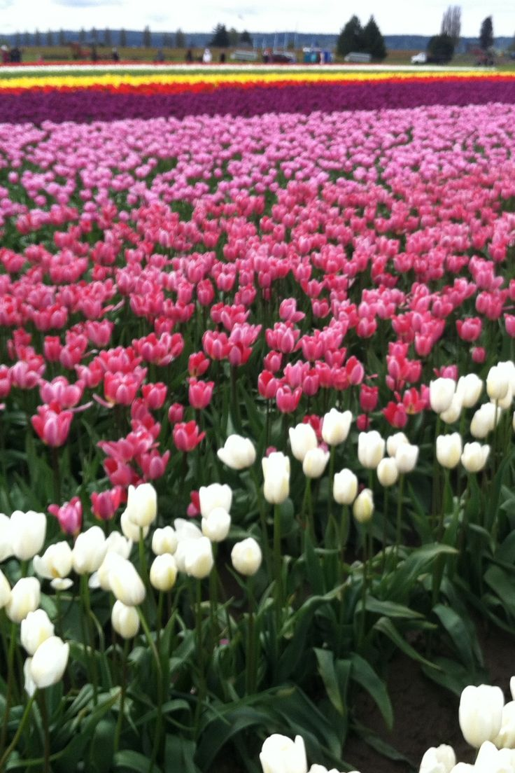 The Tulip festival outside Tacoma, Washington is one of the most gorgeous sites to see!    Tip: make sure to wear rain boots as this time of year is wet and it's very muddy.