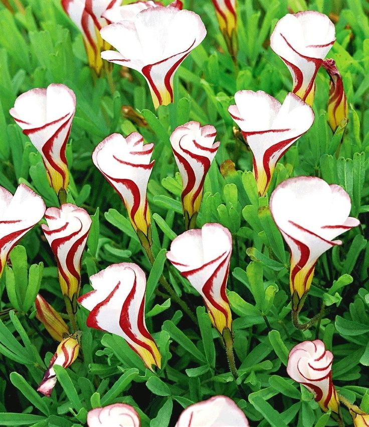 10 candy cane sorrel ( oxalis versicolor ) SEEDS FREE Shipping USA Seller