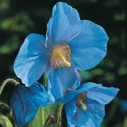 Meconopsis Grandis Poppy. Shade friendly plants and flowers.