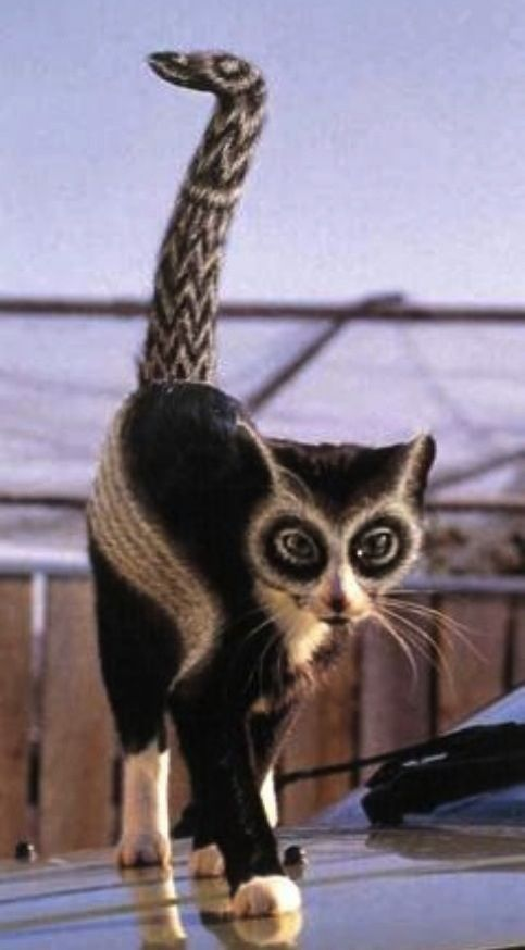 Lemur cat | For love of Animals | Pinterest | Cats, Pigs ...