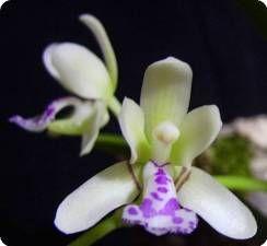 Sedirea japonica - Orchideen der Schwerter Orchideenzucht