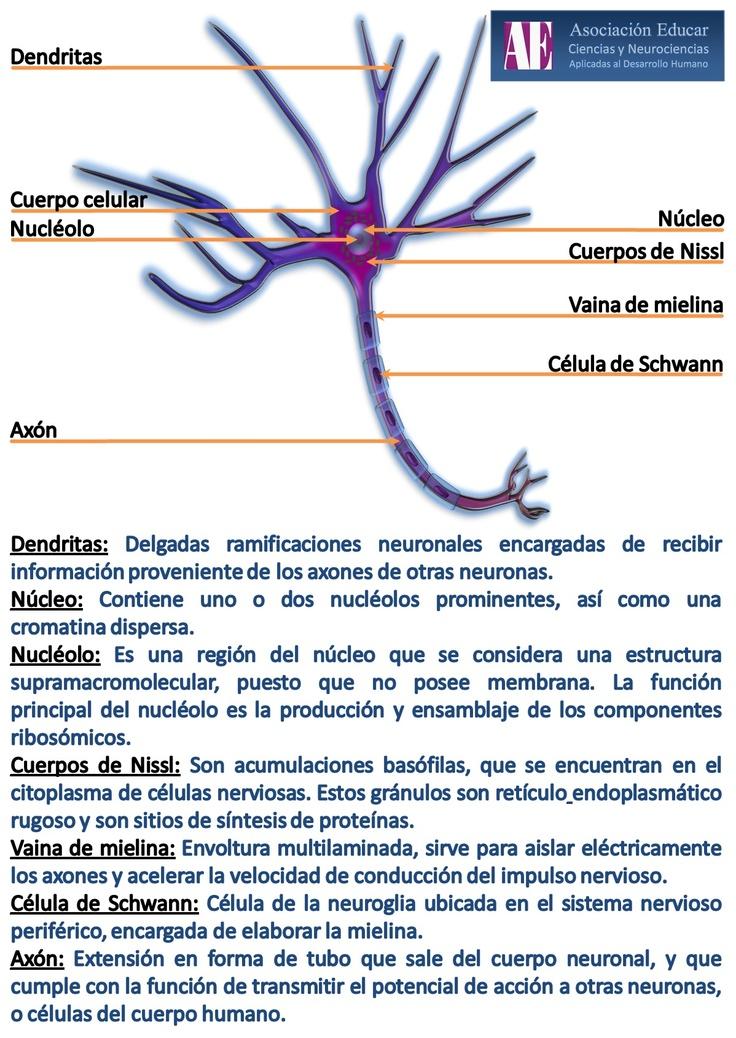 Ilustracion Neurociencias: Neurona - Asociación Educar Ciencias y Neurociencias aplicadas al Desarrollo Humano  www.asociacioneducar.com
