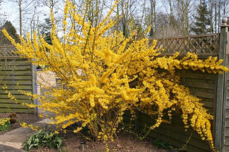 Deciduous Shrub To Tall With Yellow Flowers In Early Spring After Flowering Prune Back Just Above The Old Wood