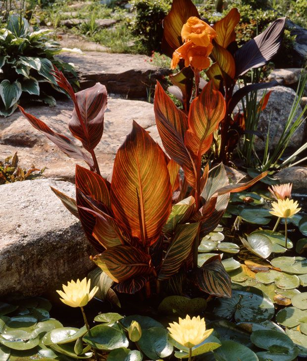 Tropicana Canna in a pond and how to plant.