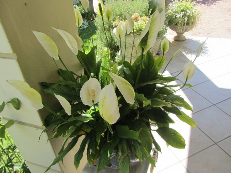 Peace lily - this potted plant is about 20 years old.