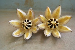 Autograph Tree Seedpods  Even the seed pods can look like lovely flowers