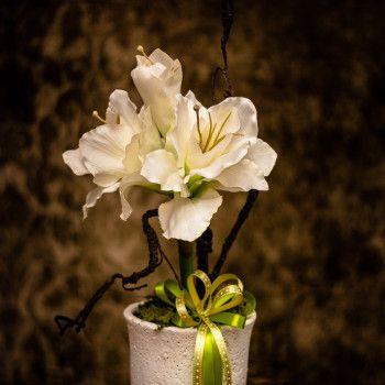 kwiat amarylis