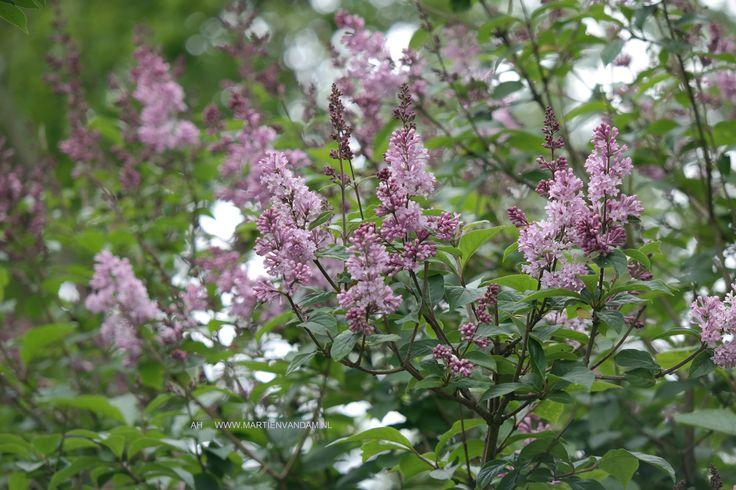Syringa meyeri 'Palabin' laagblijvende sering, bloeit lilapaars mei-juni in langwerpige pluimen. Groeien best op vruchtbare goed doorlatende grond.