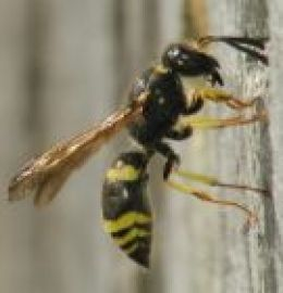 Get rid of wasps naturally without heavy chemicals