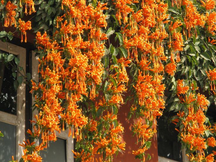 Resultado de imagen de plantas trepadoras con flores naranjas