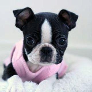 T shirt, legging, hoodie for Boston Terrier lovers. Order here: https://www.sunfrog.com/JohnyD/bostonterrier shirts #bostonterrierpuppy
